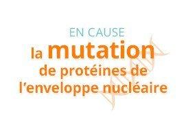 En cause, la mutation de protéines de l'enveloppe nucléaire
