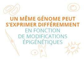 Un même génome peut s'exprimer différemment en fonction de modifications épigénétiques