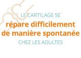 Le cartilage se répare difficilement de manière spontannée chez les adultes