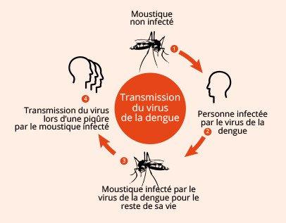 Schéma de transmission du virus de la dengue