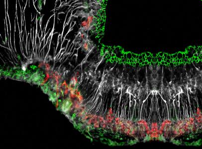 Figure artistique montrant le marquage des protéines de jonctions serrées (fluorescence verte) autour des corps cellulaires des tanycytes (fluorescence blanche) bordant le troisième ventricule, ainsi que des capillaires de la barrière hémato-encéphalique et des protéines de capillaires « fenestrés » c'est-à-dire perméables (fluorescence rouge).