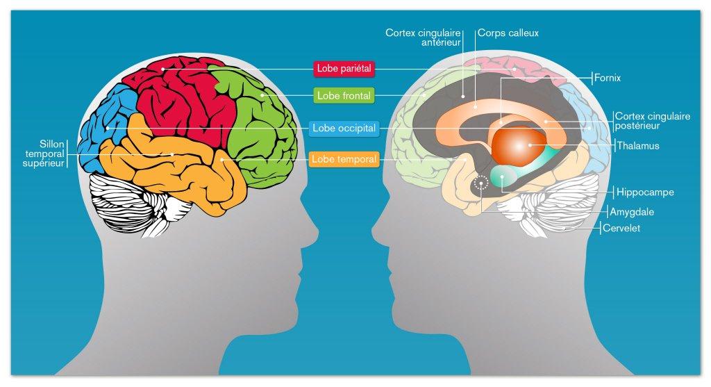 Zones du cerveau impliquées dans la mémoire