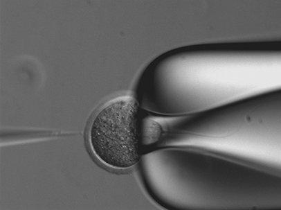 Fécondation in vitro (FIV). © Inserm, A. Santenard, ME. Torres-Padilla