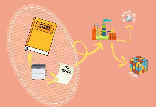 Secret de fabrication : C'est quoi un ARN messager ?   ⋅ Inserm, La science pour la santé