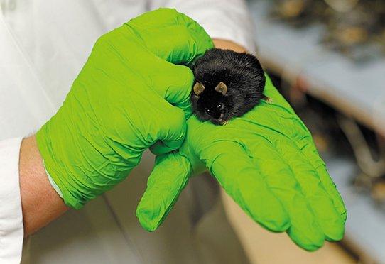 Maintenance et pesée d'une souris obèse