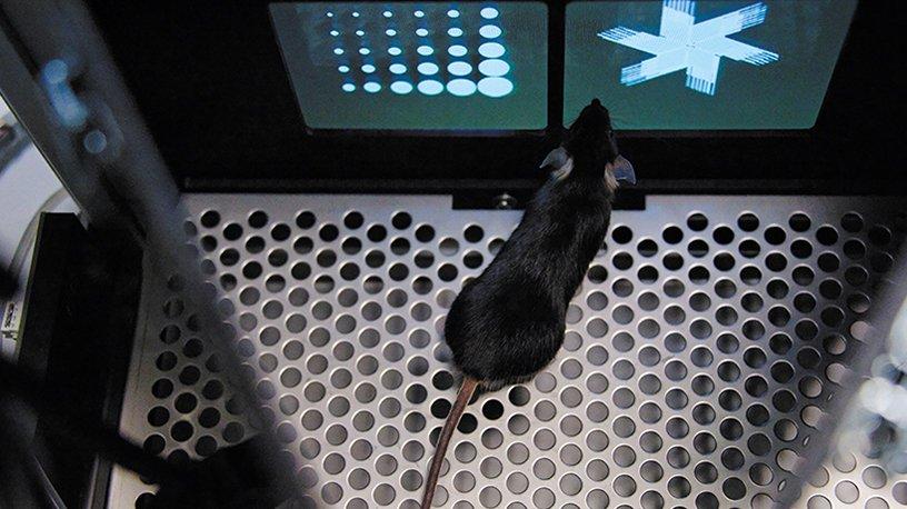 Pour tester ses facultés d'apprentissage et de mémoire, la souris est placée dans un espace triangulaire.