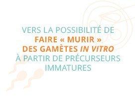"""Vers la possibilité de faire """"murir"""" des gamètes in vitro à partir de précurseurs immatures"""